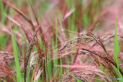 秋  実りの赤米の穂