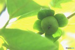今年は豊作  柿の実
