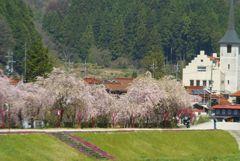 川沿いの枝垂れ桜 遠望