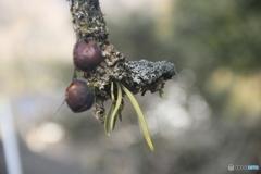 年期の入った柿の木