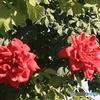 サマルカンドの赤いバラ