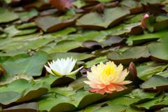 蓮池に艶やかな色を添える君を…④