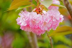 淡いピンクの君に見とれて…八重桜 ②
