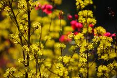 春色彩々...サンシュユ