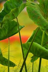 風は秋色に~里芋の葉から垣間見る田園風景~②