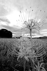 風は秋色に~曼珠沙華咲く田園風景~