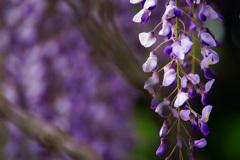 いつの間にか君も満開に…紫の藤