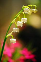 可憐なスズラン咲いてよかったね…華やかな芝桜との共演 ②