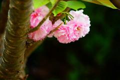 淡いピンクの君に見とれて…八重桜 ①
