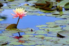 蓮池に艶やかな色を添える君を…⑤