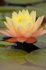 蓮池に艶やかな色を添える君を…⑥