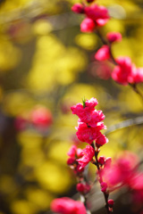 春色彩々...ほうき桃&サンシュユ