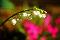可憐なスズラン咲いてよかったね…華やかな芝桜との共演 ③