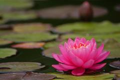 蓮池に艶やかな色を添える君を…⑦