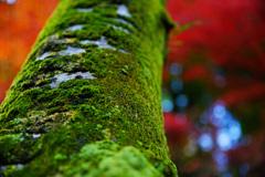 秋燃ゆ~深紅に映える深緑~②