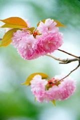淡いピンクの君に見とれて…八重桜 ③