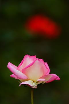 深まる秋~秋薔薇 プリンセス ドゥ モナコ~