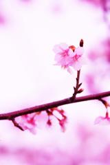 年の瀬に届いた桜の便り