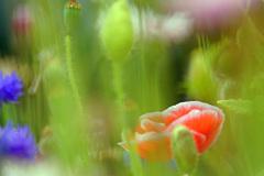 シャーレーポピー咲き乱れる丘で…②