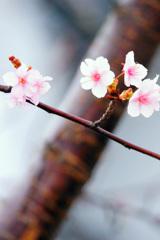 年の瀬に届いた桜の便り②