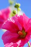 初夏に天高く伸びる存在感~立葵~⑧
