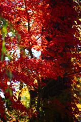 河口湖で紅葉狩り~もみじ回廊 ⑦