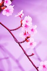 年の瀬に届いた桜の便り③
