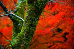 秋燃ゆ~深紅に映える深緑~③