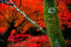秋燃ゆ~深紅に映える深緑~①