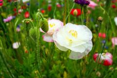 シャーレーポピー咲き乱れる丘で…④