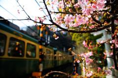 河津桜の横を緑の風が通りすぎて...