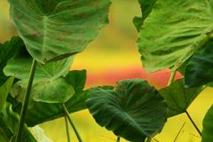 風は秋色に~里芋の葉から垣間見る田園風景~①