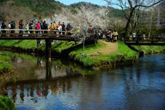 忍野村を訪ねて...桜と清らかな水