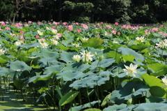 蓮の花畑(花はす公園3回目より)