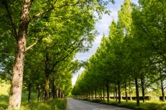 新緑のメタセコイア並木(太陽が丘より)