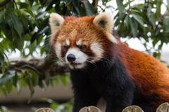 一番かわいく撮れたレッサーパンダ(西山公園より)