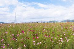 野田町のコスモス畑