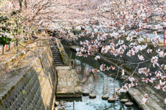 熊坂川河畔の桜3