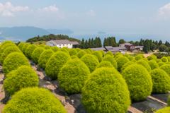 緑のコキア畑(湖西・高島市めぐりより)