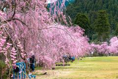 しだれ桜のたけくらべ広場その5
