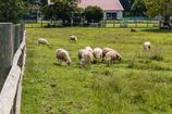 柵の中の羊たち(畜産技術振興センターより)