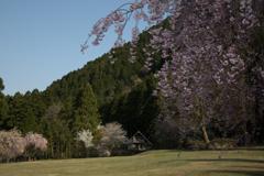 竹田の谷のしだれ桜