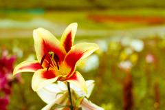 まだユリの花が咲いていた1(湖西・高島市めぐりより)