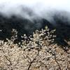 雨上がりの山桜