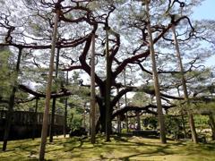 兼六園の大樹