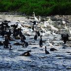 NIKON COOLPIX P900で撮影した(鵜鷺の乱 #7 水際の戦い)の写真(画像)