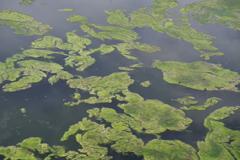 藻 池の飛び石?