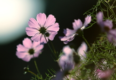 Cosmo Flower