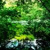 緑萌える睡蓮池の朝