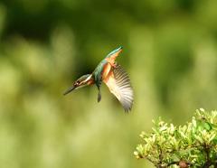 幼鳥飛込み